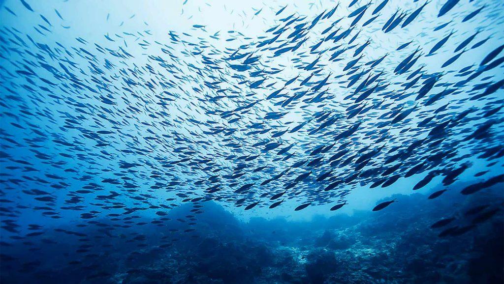 shoal swimming