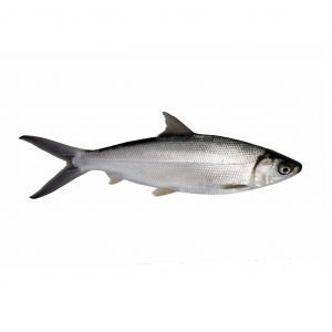 milkfish whole round